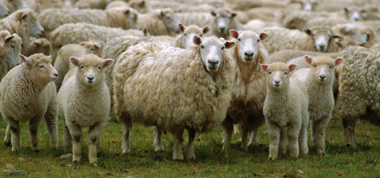 Sheep Herding, A Word by Pastor Bill Young of The Rock Church in Utah